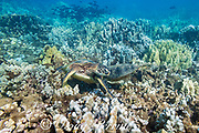 green sea turtles, Chelonia mydas ( Threatened Species ), feeding on a shallow coral reef off Kahekili Beach Park, Ka'anapali, West Maui, Hawaii, USA ( Central Pacific Ocean )