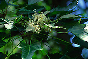 Kukui nut tree, flower<br />