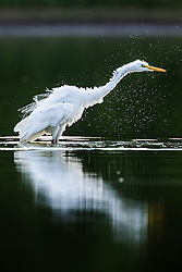 Backlit great egret shaking water off feathers, Great Trinity Forest, Dallas, Texas, USA