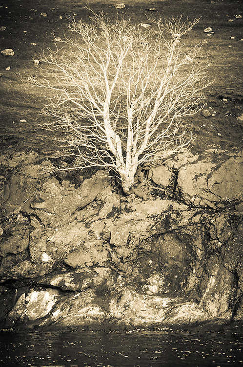 The Roots Spieden Island Tree  san juan island archipelago, tree on the bluff photo