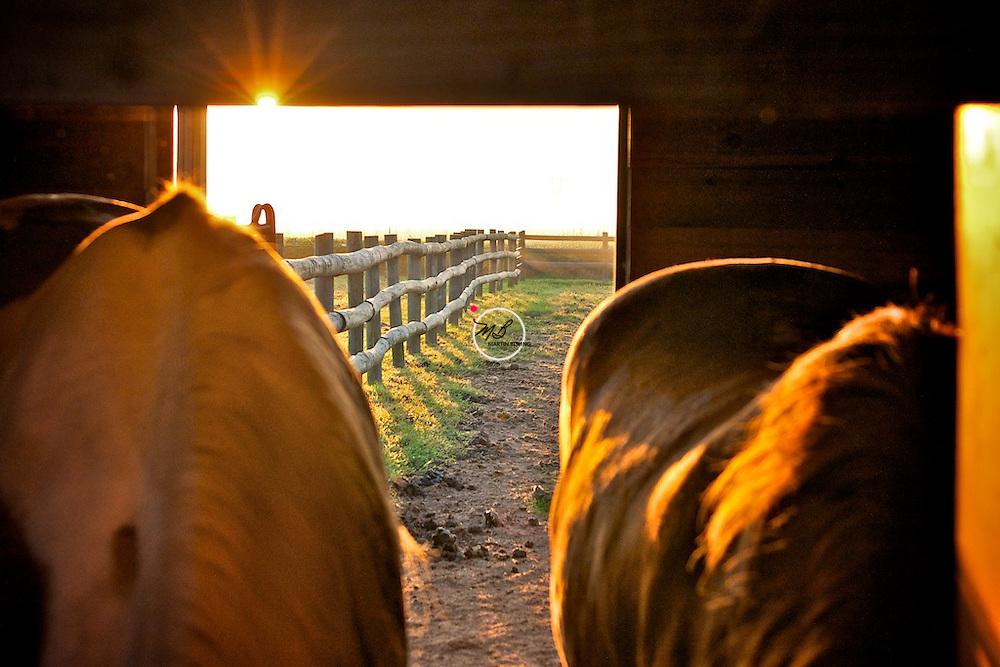 Morning in the Barn