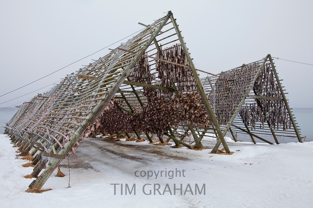 RESERVED USE please get in touch for details. Stockfish cod drying on traditional racks, hjell, in the Arctic Circle on the island of Ringvassoya in region of Tromso, Northern Norway
