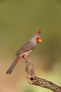 Pyrrhuloxia (Cardinalis sinuatus) Amado, Arizona<br /> animals<br /> wildlife<br /> birds