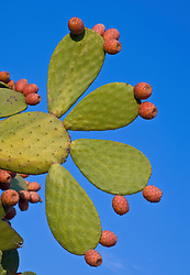 Cactus Coverd In Red Prickly Fruit