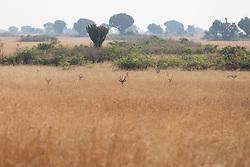 Ugandan Kob Lying Down In Grass