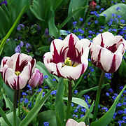 Three Zurel tulips in a flower bed. Photo by Adel B. Korkor.