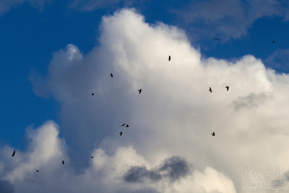 More than a dozen American crows (Corvus brachyrhynchos) fly past a stormy cumulonimbus cloud over Bothell, Washington.
