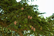 Close up of the cones and leafs of the Abies pinsapo (Spanish fir) tree. Photographed in Medinaceli, Soria, in Castile and Leon, Spain in July