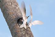 Two common white-tern, Gygis alba.
