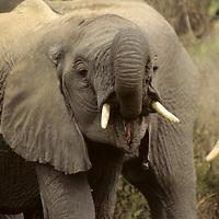 Africa, Tanzania, Lake Manyara. Young elephant explores the uses of his trunk.