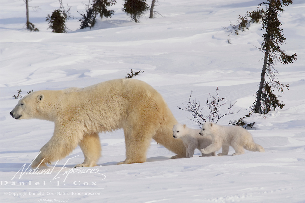 Mother and cub polar bear traveling towards Hudson Bay pass through a spruce forest in Wapusk National Park. It's early March and the temperatures are -46F; this is the time mother and cubs merge from the den. Manitoba, Canada