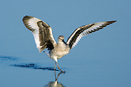 Willet - Catoptrophorus semipalmatus. Breeding Plumage