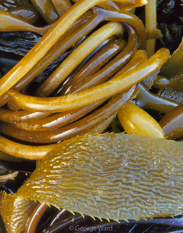 Detail of Giant Kelp,Phillip Burton Wilderness,Point Reyes National Seashore, California