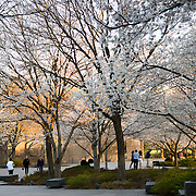 Cherry blossoms in bloom at the FDR Memorial in Washington DC.
