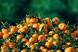 O Vale do Caí, interior de Montenegro, é a principal região produtora de citros no Rio Grande do Sul, responsável por mais de 58% do total. Na região, 11,7 mil hectares são cultivados com citros, sendo 7,7 mil hectares de bergamotas, 3,58 mil hectares de laranjas e 412 hectares de limões. A bergamota foi uma das primeiras variedades a ser cultivada na região. Só em Montenegro, 1,8 mil famílias estão envolvidas na produção de mais de 3,4 milhões de caixas de citros, gerando uma receita superior a R$ 27 milhões. FOTO: Jefferson Bernardes/Preview.com