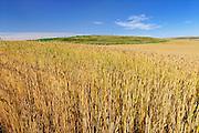 Wheat field<br /> Beverley<br /> Saskatchewan<br /> Canada