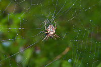 This most common of the orb weaver spiders found in Washington State, the cross orb weaver is found in a wide range of habitats. It has extremely variable markings and patterns, but they all have a white cross on the back of the abdomen. This large female was found eating its prey - some sort of flying insect - that she trapped in her web next to Coal Creek in Bellevue, Washington on an early fall afternoon.
