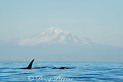 transient orcas or killer whales, Orcinus orca, Strait of George, east of Vancouver Island, British Columbia, Canada, in front of snow-capped Mt. Baker, Washington, USA