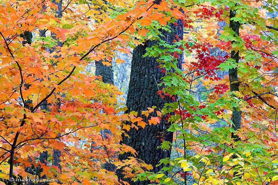 Birch and Maple Tees in autumn near Copper Harbor, Michigan, USA