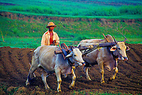 Plowing rice fields near Mandalay, Burma (Myanmar)