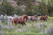 Stalllion with mares Wild horses in Theodore Roosevelt National Park, North Dakota, USA