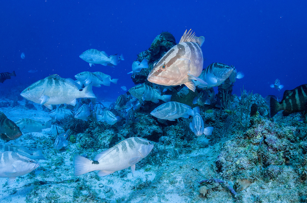 During the winter full moons the normally solitary Nassau grouper gather en masse to spawn at certain locations throughout the Caribbean. Learning about these aggregations is of major importance to protect and manage the economically and culturally important fishery for these critically endangered fish.
