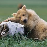 Alaskai brown bear (Ursus middendoffi) cub resting on driftwood during late spring. Katmai National Park & Preserve. Alaska