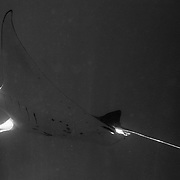 A Manta Ray feeds, swimming through plankton rich waters off Lady Elliot Island, Australia - the southern-most coral cay of the Great Barrier Reef, Australia. Mantas feed on plankton, fish larvae and the like, filtered from the water passing through their gills as they swim. They catch small prey on flat horizontal plates of spongy tissue spanning spaces between the manta's gill bars (or arches). The manta's gill arches help it to feed by operating as a filtration system: water is sucked in through the mouth and pumped out through the gill slits. The plankton that is sucked into the manta's mouth along with the water is caught by the gill arches and siphoned into its stomach.