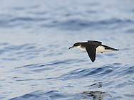 Manx Shearwater Puffinus puffinus W 70-85cm. Skims low over sea on stiffly held wings. Contrasting dark upperparts and mainly white underparts are seen as bird banks and glides. Gregarious when feeding is good. Sexes are similar. Adult has blackish upperparts and mainly white underparts with dark wing margins. Juvenile is similar to adult. Voice Silent at sea; strangled coughing calls uttered after dark when nesting birds. Status Fairly common summer visitor. Seen mostly at sea; only visits land to breed, after dark. Nests in burrows on remote islands.