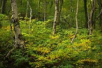 Summer birch forest, Smuggler's Notch State Park, Vermont, USA