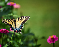 Eastern Tiger Swallowtail butterfly on a Zinnia flower. Image taken with a Nikon Df camera and 70-300 mm VR lens