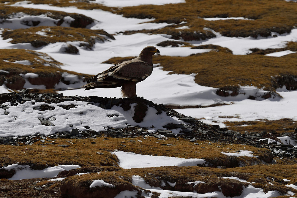 Steppe eagle, Aquila nipalensis, Keke Xili, Changtang, Tibetan Plateau, Qinghai, China