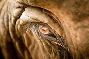 """27 JUNE 2011 - CHIANG MAI, THAILAND: The eye of an elephant at Elephant Nature Park near Chiang Mai, Thailand. Elephant Nature Park rescues working elephants abused by the owners. Many of the rescued elephants used to work """"begging"""" in the tourist districts of Bangkok and other Thai cities. A few of the elephants were injured by landmines on the Thai-Burma border. Tourists are not allowed to come into close contact with bull elephants because they are more unpredictable and aggressive than the cows.    PHOTO BY JACK KURTZ"""