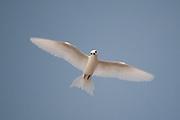 A common white-tern, Gygis alba, in flight.