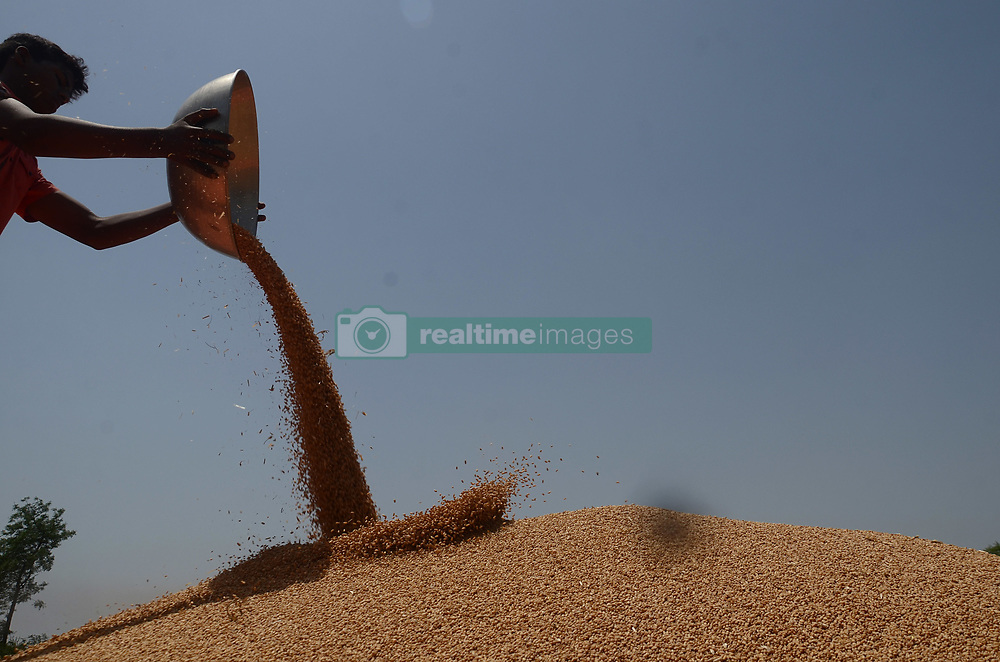 May 1, 2019 - Lahore, Punjab, Pakistan - Pakistani farmer's family busy in harvesting & thrashing the wheat crops in current procurement wheat season in their fields in suburb of Lahore. As damage due to widespread hailstorm, torrential rains, and gusty winds earlier in the week damaged up to 150,000 tons of standing mature wheat crop in the Punjab province, an official estimate showed on Tuesday. Large-scale rain and hailstorm were also reported on April 16 and Pakistan Meteorological Department has forecast a wave of downpour of similar intensity on April 17. The damage to standing wheat crop has also been estimated due to lodging (bending) of plants over a vast area, an initial assessment prepared by Provincial Agriculture Department said.Pakistani As harvesting starts, Punjab now expects to reap 29.55 million tons wheat against earlier estimates of over 39 million tons, as a combination of climate change – hailstorms, windstorms, persistent rains– and rust attack took toll on the crop. (Credit Image: © Rana Sajid Hussain/Pacific Press via ZUMA Wire)