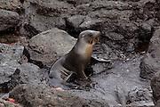 A galapagos sea lion (Zalophus californianus) on Santa Fe Island, Galapagos Archipelago - Ecuador.