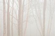 Hardwood trees in heavy fog<br /> Lake Superior Provincial Park<br /> Ontario<br /> Canada