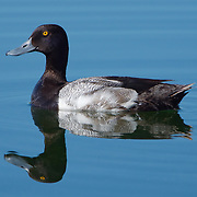 Lesser scaup (Aythya affinis), adult male. Trout Lake, Yellowstone National Park, Wyoming