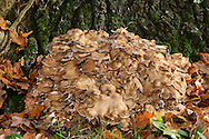 Grifola frondosa - Hen of the Woods
