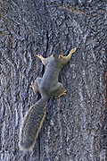 A fox squirrel (Sciurus niger) digs its claws into the bark as it climbs an oak tree in Potholes State Park in Grant County, Washington. The fox squirrel is the largest tree squirrel native to North America, though its original range consisted of the eastern half of the continent. It was introduced to several western states, including Washington, as well as the Canadian province of British Columbia.