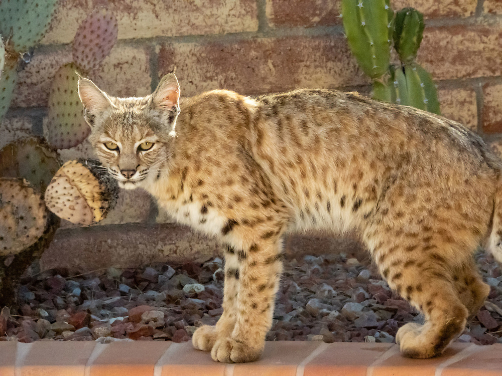 This Bobcat walked across my patio and back again. On its way out it turned to look at me and gave me this wonderful pose.