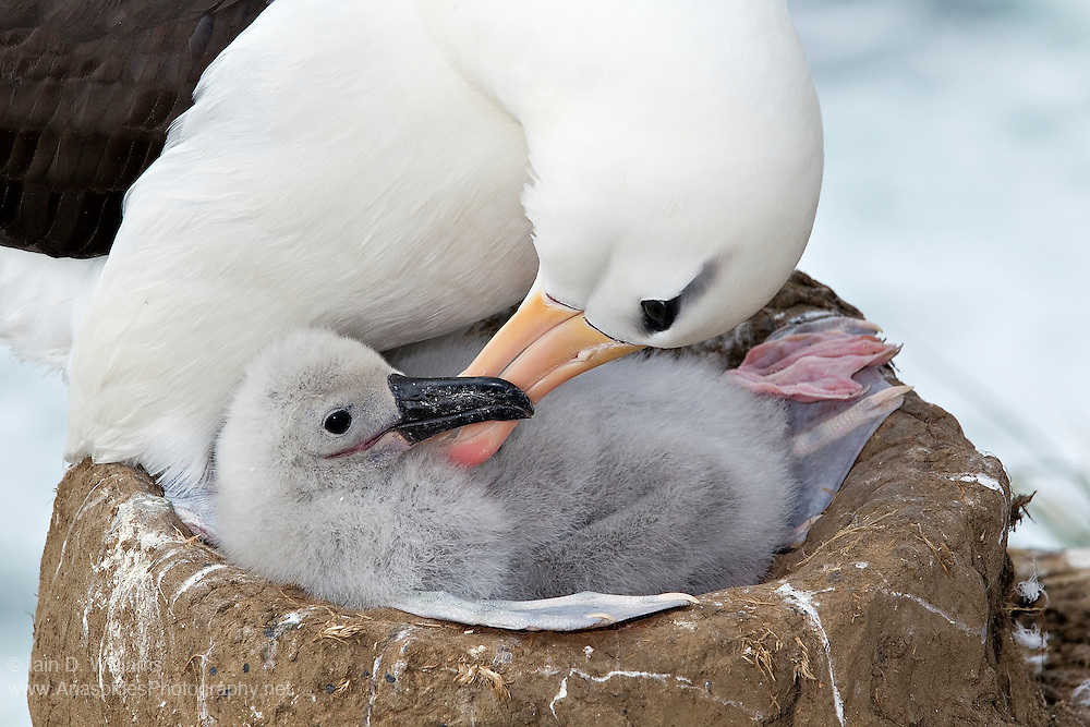 Parenting, of which preening is a component, is important to the long term survival of a young Black-browed Albatross in the Falkland Islands