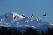 A line of trumpeter swans flies past Mt. Baker. (Mark Harrison / The Seattle Times)