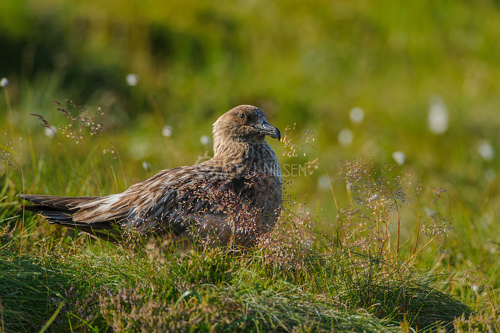 Great Skua (Stercorarius skua) nesting at Runde Island, north-western Norway in early July.