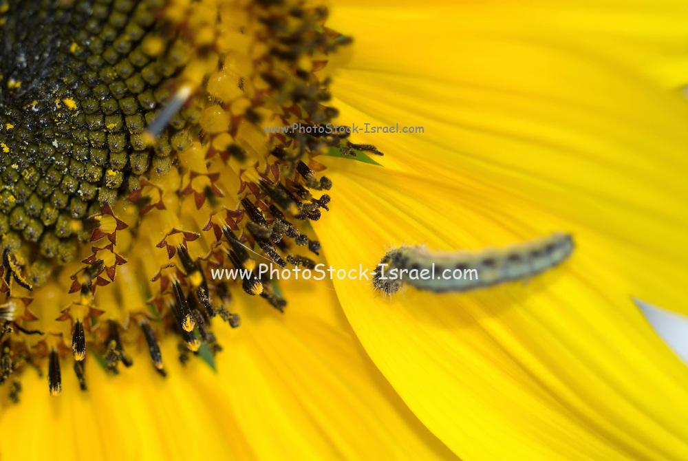 Close up of a caterpillar on a yellow sunflower