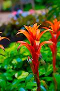 Bromeliad, Flower,  Maui, Hawaii