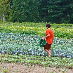 Farmhand Tom Crimer walks through a field of vegetables at the Crimson and Clover Farm in Northampton, Massachusetts.