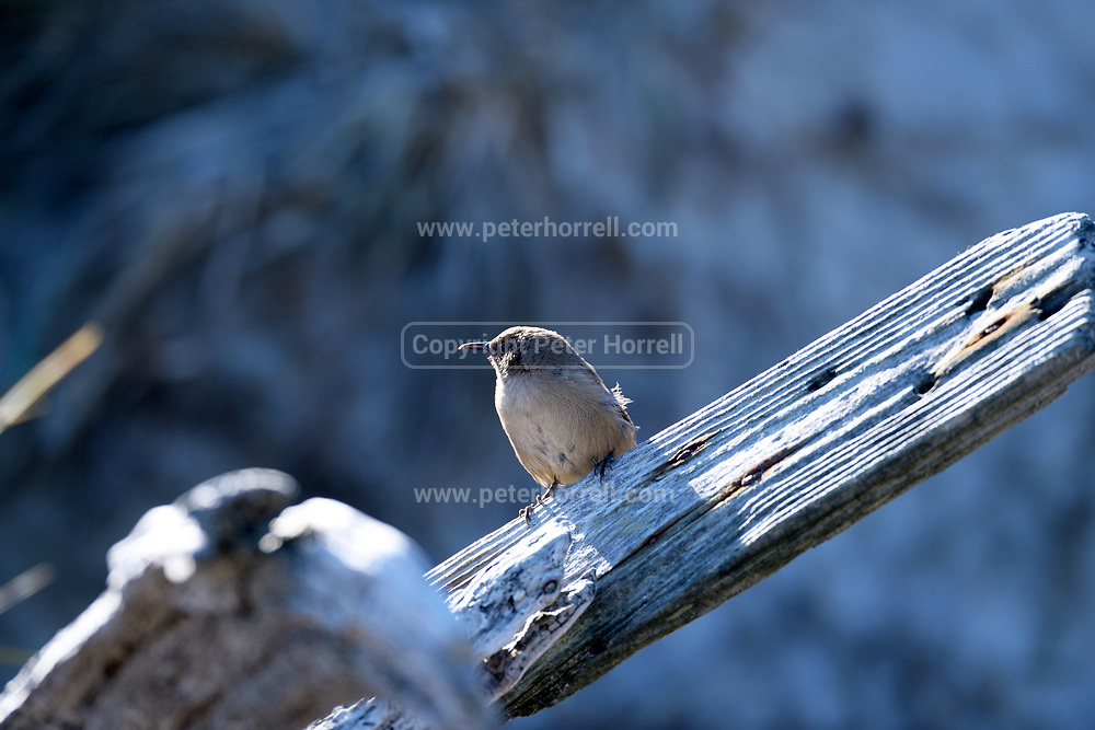A Cobb's wren (Troglodytes cobbi) perches on a broken fence pole on Carcass island on Sunday 4th February 2018. The bird is an endemic to the Falkland Islands.