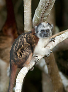 Geoffrey's Tamarin, Saguinus geoffroyi, Panama, Central America, young baby, Parque Nacional Soberania, on Panama Canal river bank, also known as the Panamanian, red-crested or rufous-naped tamarin, a New World monkey classified within the family Callitrichidae, diurnal and arboreal