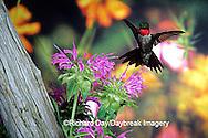 01162-05803 Ruby-throated Hummingbird (Archilochus colubris) male at Bee Balm (Monarda sp.) Shelby Co. IL